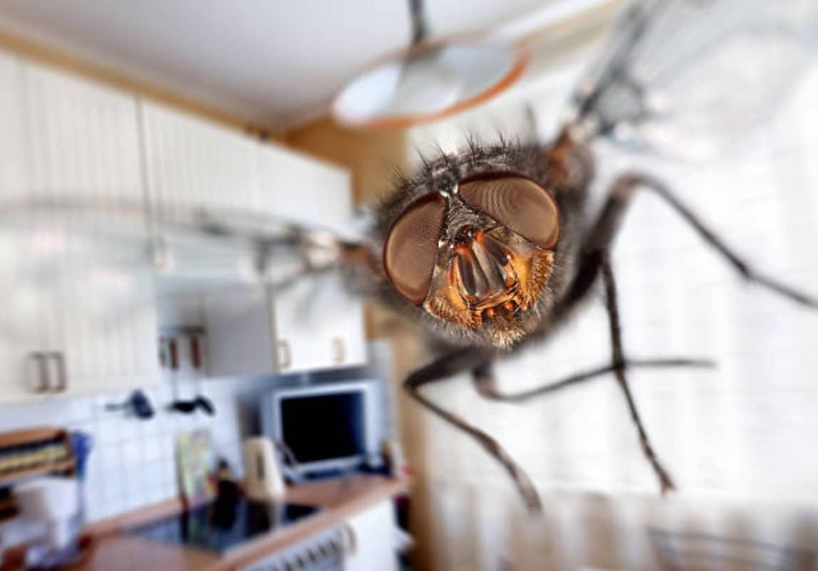 Pourquoi les mouches volent autour de nous ?