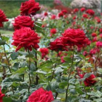 Comment prendre soin des roses?